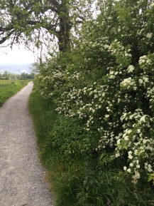 A lane across fields of sheep.
