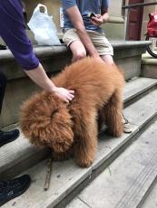 Giant fluffy dog